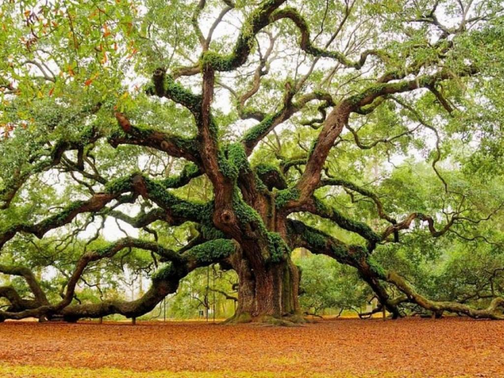 copac-stejar-masiv
